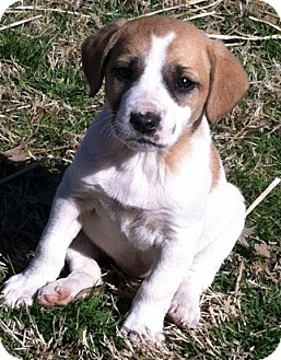 Beagle Mix Puppy for adoption in Somers, Connecticut - Candi