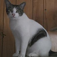 Domestic Shorthair Cat for adoption in San Pablo, California - 2SPOT