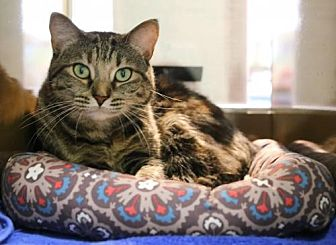 Bengal Cat for adoption in Roseville, California - Stells