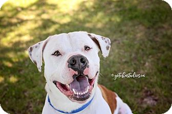 American Bulldog Dog for adoption in Caledon, Ontario - URGENT - Rascal