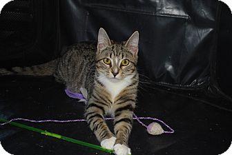Domestic Shorthair Cat for adoption in Exton, Pennsylvania - Pauline (PB)