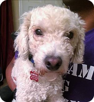 Poodle (Miniature) Mix Dog for adoption in Encino, California - Jericho