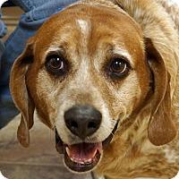 Adopt A Pet :: Bo - Sprakers, NY