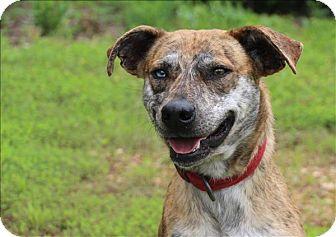 Blue Heeler/Hound (Unknown Type) Mix Dog for adoption in Osage Beach, Missouri - Axel