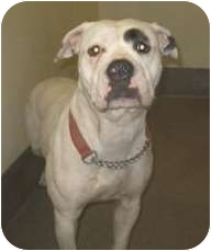 American Pit Bull Terrier/American Staffordshire Terrier Mix Dog for adoption in Shoreline, Washington - Pit Bull Fosters Needed