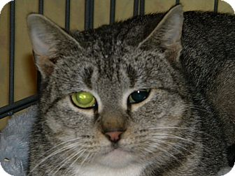 Domestic Shorthair Cat for adoption in Stafford, Virginia - Evie - Updated!