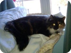 Calico Cat for adoption in Raritan, New Jersey - Libby