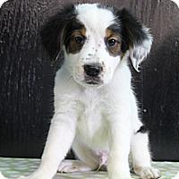 Adopt A Pet :: Jet - Bedminster, NJ