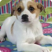 Adopt A Pet :: Priya - Hagerstown, MD