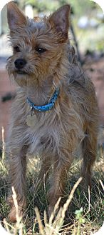 Yorkie, Yorkshire Terrier/Cairn Terrier Mix Puppy for adoption in Simi Valley, California - Lucky