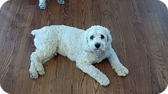 Cockapoo Mix Dog for adoption in Lucknow, Ontario - ODIE