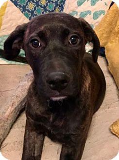 Mastiff/Labrador Retriever Mix Puppy for adoption in ST LOUIS, Missouri - ELIA
