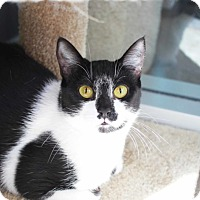 Domestic Shorthair Cat for adoption in Redwood City, California - Marley