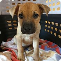 Adopt A Pet :: Kendra - Pittsboro, NC