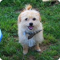 Yorkie, Yorkshire Terrier/Mixed Breed (Small) Mix Dog for adoption in Shreveport, Louisiana - Scruffs