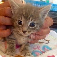 Adopt A Pet :: Knox - Los Angeles, CA