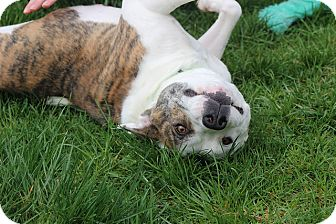 American Bulldog/Retriever (Unknown Type) Mix Dog for adoption in Sparta, New Jersey - Nova