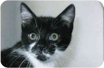 Domestic Shorthair Kitten for adoption in Brea, California - Razzy