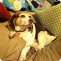 Adopt A Pet :: Little Lady - Indianapolis, IN