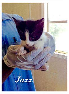 Domestic Shorthair Kitten for adoption in Dillon, South Carolina - Jett