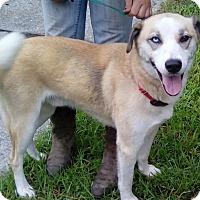 Adopt A Pet :: Balto - Orlando, FL