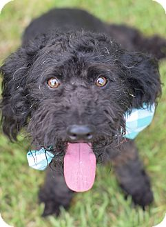Miniature Poodle/Portuguese Water Dog Mix Dog for adoption in Denver, Colorado - Mitchell