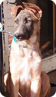 German Shepherd Dog/Great Pyrenees Mix Dog for adoption in Spring City, Tennessee - Fred PENDING!