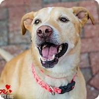Adopt A Pet :: Phoebe - Kansas City, MO