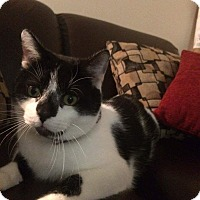 Domestic Shorthair Cat for adoption in Columbus, Ohio - Bobo