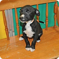 American Pit Bull Terrier Mix Dog for adoption in Suwanee, Georgia - Twinkle