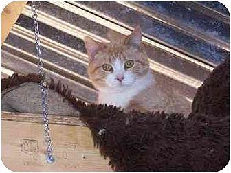 Domestic Shorthair Cat for adoption in Winnsboro, South Carolina - Foxy