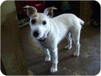 Jack Russell Terrier Dog for adoption in Omaha, Nebraska - Skittles