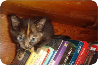 Domestic Mediumhair Kitten for adoption in Orlando, Florida - Ginger