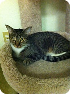Domestic Shorthair Cat for adoption in Fountain Hills, Arizona - HANNA