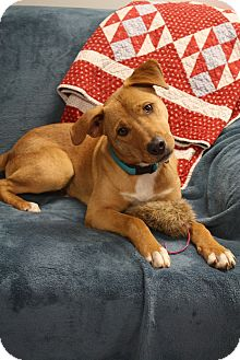 Labrador Retriever/Boxer Mix Dog for adoption in Marietta, Georgia - Chipper
