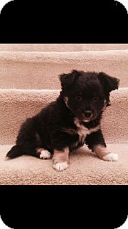 Spaniel (Unknown Type)/Parson Russell Terrier Mix Puppy for adoption in Baltimore, Maryland - Keegan