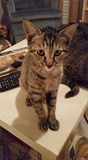 Domestic Shorthair Kitten for adoption in Ocala, Florida - Tabitha