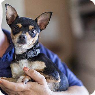 Chihuahua Mix Dog for adoption in Severance, Colorado - PEPPER