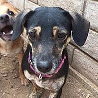 Dachshund Mix Dog for adoption in Phoenix, Arizona - Darcie