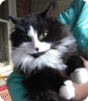 Domestic Mediumhair Kitten for adoption in Franklin, West Virginia - Whisper
