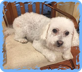 Bichon Frise Dog for adoption in Tulsa, Oklahoma - Adopted!!Millie - IN