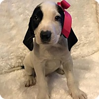Adopt A Pet :: Cindy Fostered (Kasey) - Troy, IL