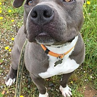 American Pit Bull Terrier Mix Dog for adoption in Lincoln, California - Steele