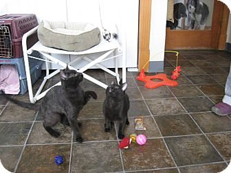 Domestic Shorthair Kitten for adoption in Ridgway, Colorado - Guinevere