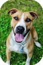 Hound (Unknown Type)/Labrador Retriever Mix Dog for adoption in Tinton Falls, New Jersey - Trinia