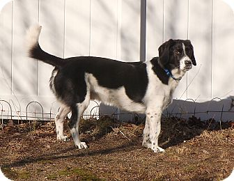 Beagle/Basset Hound Mix Dog for adoption in Braintree, Massachusetts - BB -PENDING ADOPTION