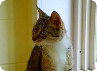 American Shorthair Cat for adoption in Salem, West Virginia - Izzy