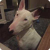 Adopt A Pet :: Simon - Houston, TX