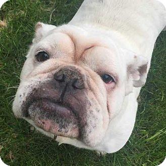 English Bulldog Dog for adoption in Barrington, Illinois - Queenie