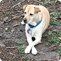 Labrador Retriever Mix Dog for adoption in Lockhart, Texas - Annie